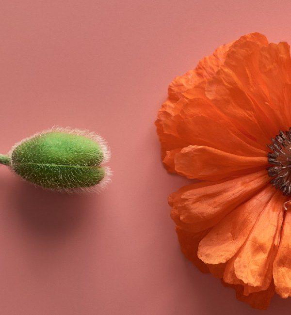 PMA - procreazione medicalmente assistita: nell'immagine un fiore aperto e uno chiuso - concept spermatozoo e ovocita