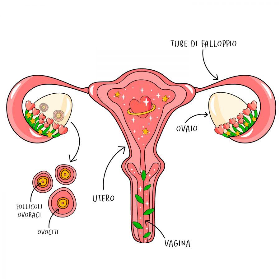 Illustrazione dell'apparato riproduttivo femminile